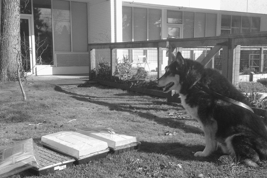 portland oregon urban gardening with dog